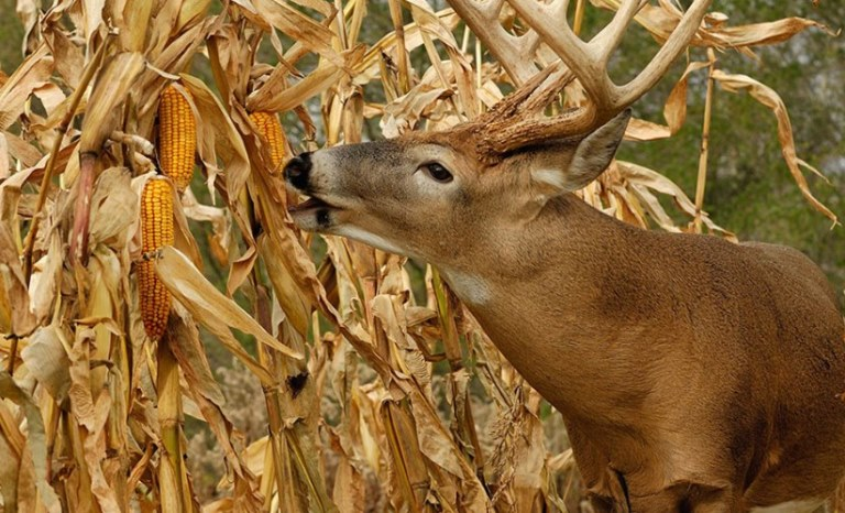 What animals eat field corn