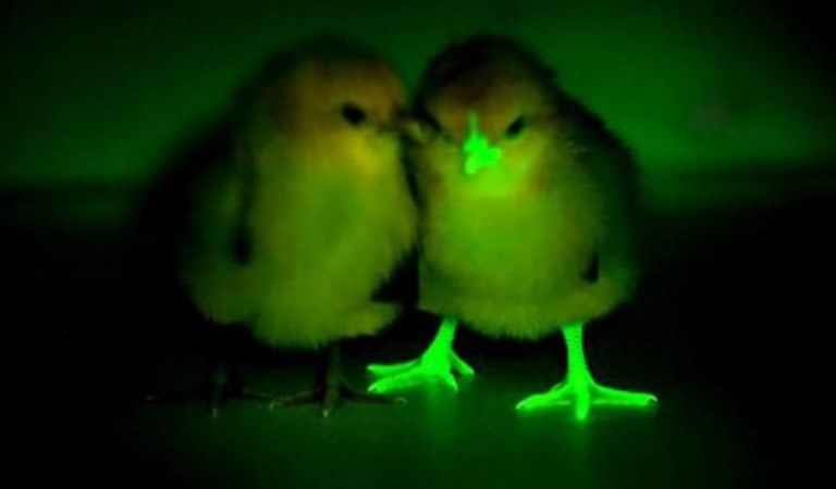 can chickens see in the dark