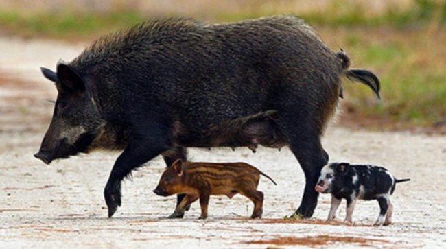 hog in the wild